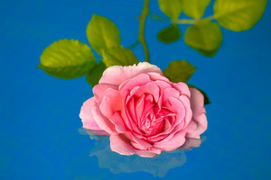 Pink rose in a water