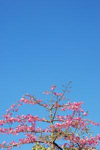 Pink Weigela Tree (sky Background)