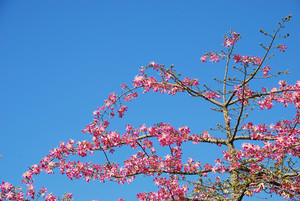 Pink Weigela Tree (sky Background)