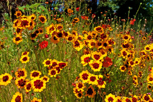 Plains Coreopsis Flower