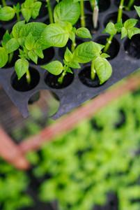 plantation of little seedlings
