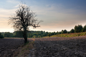 Plowed field landscape with old withered tree