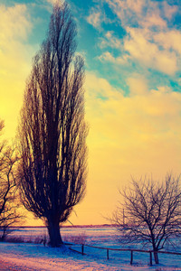 Poplar tree in winter against sunset sky