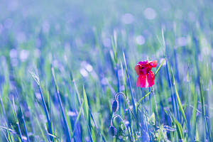 Poppy flower growing on cereal field. Single flower on field