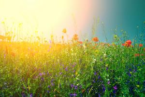 Poppy flowers against the sky in bright sunlight