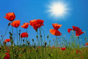 Poppy flowers against the sky with sun