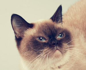 Portrain of siamese cat
