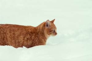 Portrait of a cat wading through deep snow