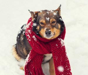 Portrait of a dog with knitted scarf tied around the neck sitting in snow