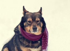 Portrait of a dog with scarf tied around the neck sitting in snow
