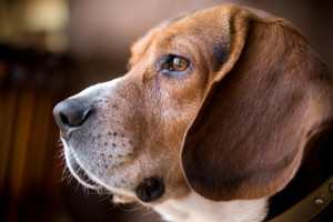 Portrait of a handsome young beagle dog.  Shallow depth of field.