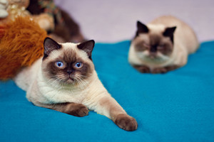 Portrait of a Siamese cat on a blue blanket with another cat in a bokeh