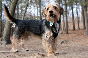 Portrait of a young yorkshire terrier beagle mix dog in the woods. Shallow depth of field.