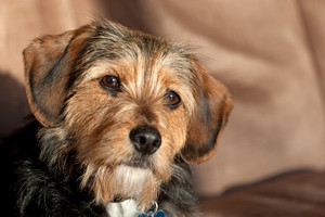 Portrait of a young yorkshire terrier beagle mix dog.  Shallow depth of field.