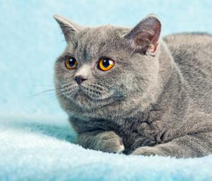 Portrait of blue british cat on blue blanket