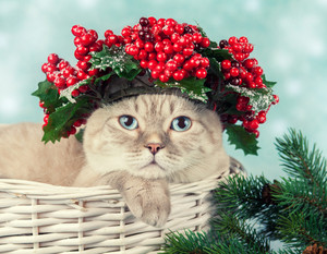 Portrait of cat with green Christmas wreath with red decorations on the head