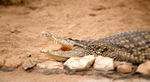 Portrait Of Crocodile