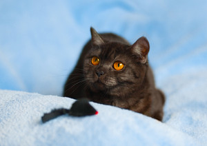 Portrait of cute cat on blue blanket