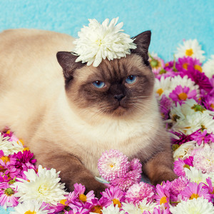 Portrait of cute color point cat with chrysanthemums flowers