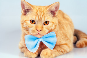 Portrait of cute red cat wearing blue bow tie