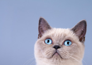 Portrait of cute siamese cat