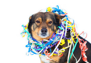 Portrait of dog entangled in colorful streamer isolated on white background