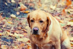 Portrait of dog labrador in autumn park