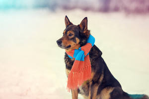 Portrait of dog wearing scarf walking outdoor in winter