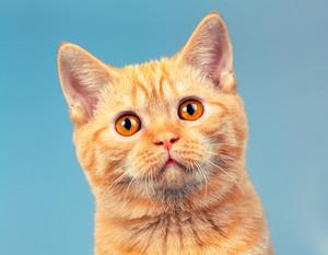 Portrait of red British Shorthair kitten