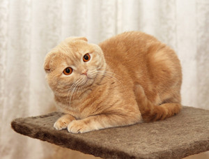 Portrait of red-haired Scottish Fold cat