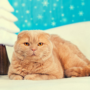 Portrait of scottish fold cat with christmas decoration