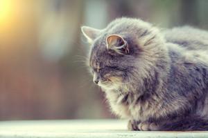 Portrait of siberian cat outdoors in the garden