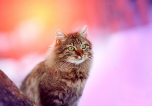 Portrait of Siberian cat outsdoor at sunset