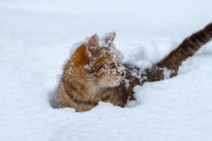 Portrait of the covered with snowflakes cat wading through deep snow