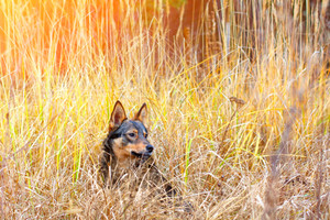 Portrait of the dog hiding in the tall dry grass