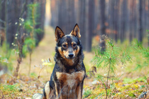 Portrait of the dog sitting in pine forest