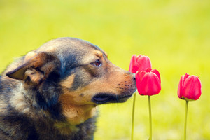Portrait of the dog sniffing tulips
