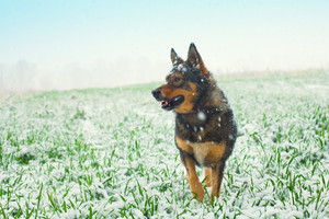 Portrait of the dog walking on the grass covered with the first snow