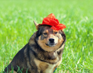 Portrait of the dog wearing red woman's hat in the grass