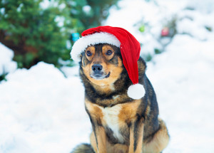 Portrait of the dog wearing santa hat against fir tree