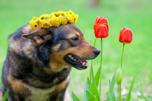 Portrait of the dog with tulips wearing a dandelion chaplet