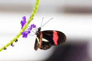 Postman Butterfly On Flower