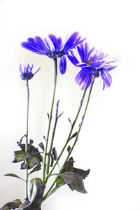 Puple Flowers Isolated On White Background