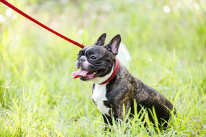 Puppy french bulldog on green field backyard.