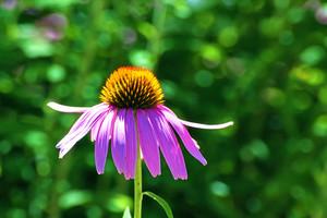 Purple Daisy Macro