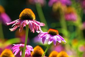 Purple Dasies