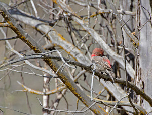 Purple Finch Bird Sleeping