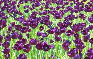 Purple Flowers 196