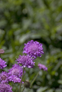 Purple Flowers Closeup