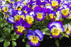 Purple Flowers Image